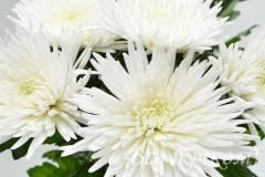 Хризантема одноголовая (белая, желтая)
