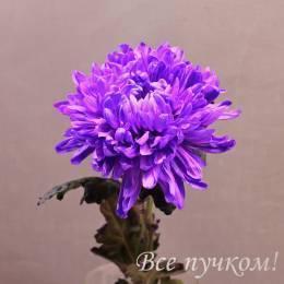 """Хризантема одноголовая """"Антонов"""" крашеная"""