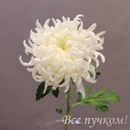 """Хризантема одноголовая """"Леонов"""" белая"""