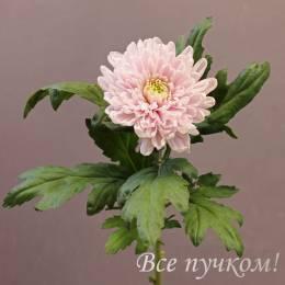"""Хризантема одноголовая """"Россано"""""""