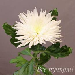 """Хризантема одноголовая белая """"Анастасия"""""""