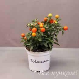 Соланум