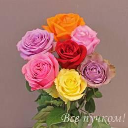 Роза 40-50 см