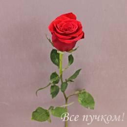 Роза элитная красная