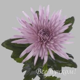 Хризантема одноголовая ФИОЛЕТОВАЯ#2