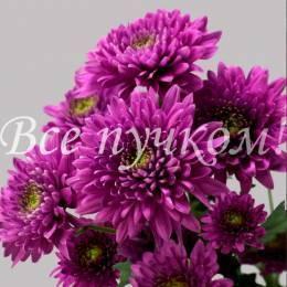 Кустовая хризантема ФИОЛЕТОВАЯ в ассортименте