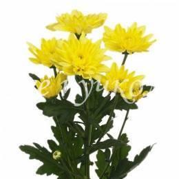 Кустовая хризантема ЖЕЛТАЯ в ассортименте