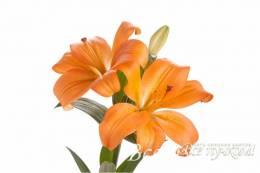 Лилия оранжевая азиатская