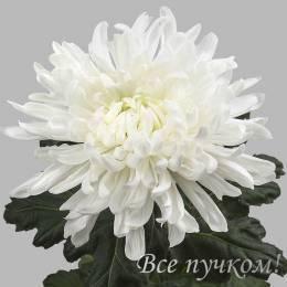 Одноголовая хризантема БЕЛАЯ в ассортименте