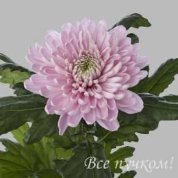 Одноголовая фиолетовая хризантема