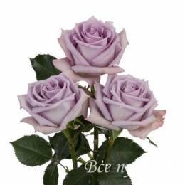 Роза Ocean Song 60-70 см