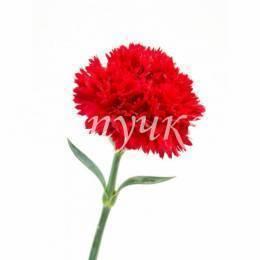 Красная одноголовая гвоздика