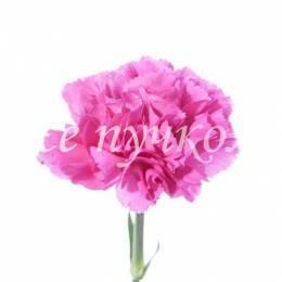 Гвоздика розовая одноголовая. Оттенок в ассортимените