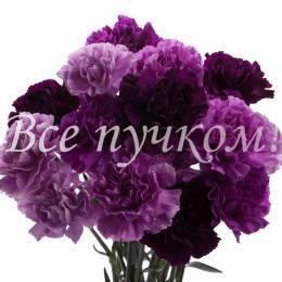 Гвоздика фиолетовая одноголовая. Оттенок в ассортименте