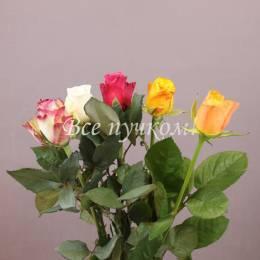 Роза Италия цвет микс