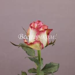 Роза Италия