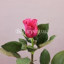 Розовые розы Италия