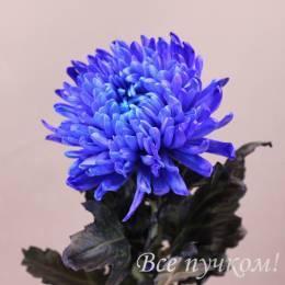 Хризантема одноголовая синяя