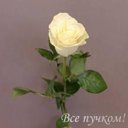 Роза элитная белая
