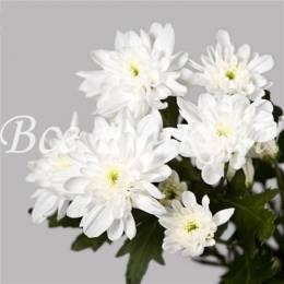 Хризантема кустовая БЕЛАЯ в ассортименте