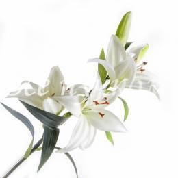 Лилия  белая